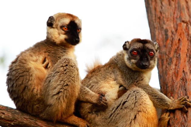 lemurs-of-madagasgar-1